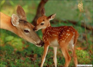 doe_and_fawn_nuzzle_0103
