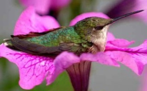 hummingbird at rest from Latisha FB